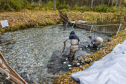 Dylan Burbank (left) and David Campbell, fish technicians for the non-profit Northern Southeast Regional Aquaculture Association, Inc. (NSRAA), begin to harvest chum salmon captured on the man-made spawning channel of Herman Creek near Haines, Alaska.<br /> <br /> NSRAA built the channel to collect wild broodstock by harvesting spawning female and male salmon for their eggs and milt to artificially spawn wild chum salmon. The eggs are fertilized with milt and placed in stream-side incubation boxes on Herman Creek and the Klehini River. In 2014, 2.4 million eggs were seeded into these incubation boxes. The 2013 incubation box survival rate was 90%. Without the artificial spawning, natural survival is said to be only 10%.<br /> <br /> Based in Sitka, Alaska, NSRAA conducts salmon enhancement projects in northern southeast Alaska. It is funded through a salmon enhancement tax (of three percent) and cost-recovery income. NSRAA also produces sockeye, chinook, and coho salmon.<br /> <br /> Male chum salmon return to Herman Creek to spawn with female chum salmon during the fall chum salmon run. The chum salmon return to freshwater Herman Creek, tributary of the Klehini River after living three to five years in the saltwater ocean. Spawning only once, chum salmon die approximately two weeks after they spawn. <br /> <br /> Chilkat River and Klehini River chum salmon are the primary food source for one of the largest gatherings of bald eagles in the world. Each fall, bald eagles congregate in the Alaska Chilkat Bald Eagle Preserve.