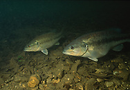 Spotted Bass (Female and male spotted bass over a spawning site in a Flint Hills stream.)<br />