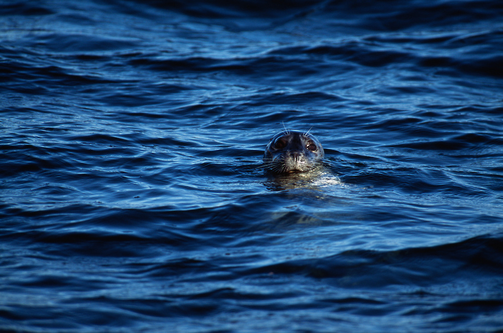 Harbor Seal in sea