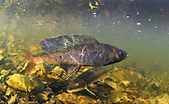 Artic Grayling<br /> <br /> Paul Vecsei/Engbretson Underwater Photography