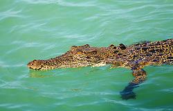 A saltwater crocodile cruises near the surface in Kimberley coastal waters.