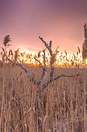 Tall reeds and a dead wild cherry tree in the marsh along Quivett Creek in East Dennis.