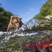USA, Alaska, Katmai National Park, Over Under view of Coastal Brown Bear (Ursus arctos) feeding on Red Salmon in spawning stream along Kaflia Bay