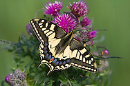 Common Swallowtail (Papilio machaon) adult, feeding on thistle. Norfolk Broads N.P.