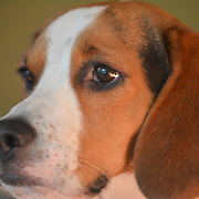 Lu the Beagle
