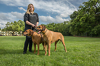 Vancouver resident Genevieve Spavold walks her parent's  Rhodesian Ridgeback dogs, Flash and Sue, at  Logvy Park while visiting her family in Calistoga.