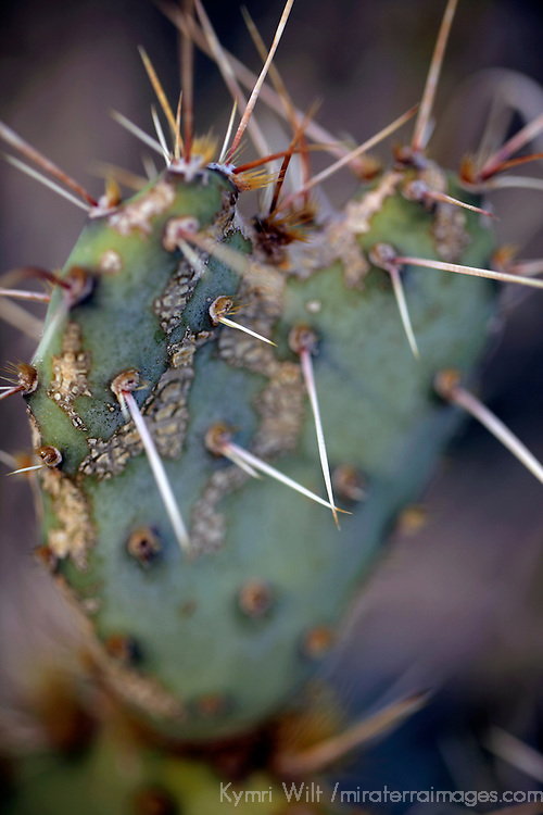 USA, California, San Diego. Heart shaped cactus at Anza-Borrego.