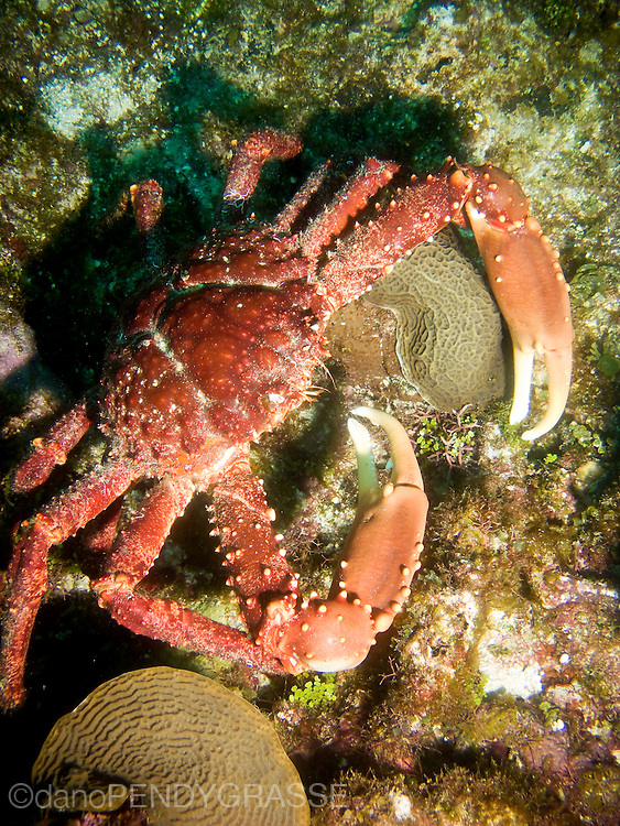 A large, red Channel Clinging Crab (Mithrax spinosossimus). Roatan, Honduras.