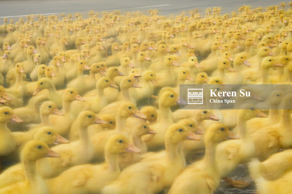 Ducklings, Sichuan, China