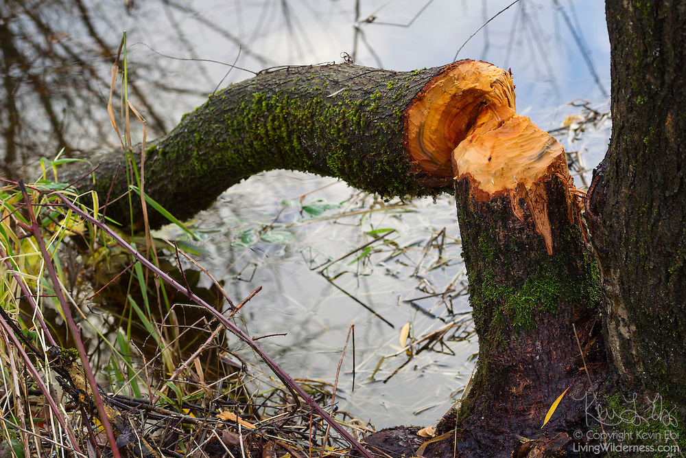 Beavers gnawed through the base of this tree, causing it to fall into North Creek in Bothell, Washington. Beavers, the largest rodent in North America, use their powerful front teeth to cut through trees, which they use for food and as a building material for dams and lodges.
