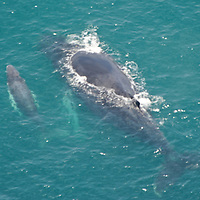 Humpback whale. Mother and calf breathing on the surface. Pedro Gonzalez Island. Pearl Islands.