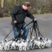 """ADAM MORLEY TRYING TO TAKE THE DALMATIANS FOR A WALK...This is what it's like taking 18 playful dalmatian pups for a walk...The world record-breaking litter gave owner Adam Morley a ruff time when he took them for a play in the park...The spotty siblings, now 11 weeks old, left him all tied up as they enjoyed a bit of rough and tumble before heading to their new homes...""""It was a nightmare, I may as well have been walking 101 Dalmatians,"""" said Mr Morley...""""Most of the dogs wanted to walk in different directions, while some of them just sat down and wouldn't budge...""""I got in a terrible tangle. It was like being in the middle of a spotty blizzard.""""..The yappy family has now been split up and the mischievous mutts are settling in with their new owners all over the country...Mr Morley, 40, and wife Nicola, of Melton Mowbray, Leics, have kept just two of the pups, Red Boy and Rudolph, to keep three-year-old mum Button company...""""We were really sorry to see them go. We do miss them and I cried when they left,"""" said Mrs Morley, 31...SEE COPY CATCHLINE Record-breaking dalmatians leave home"""