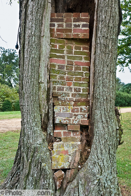 """Bricks wedge a tree cavity. Shirley Plantation, settled in 1613, is the oldest active plantation in Virginia and said to be the oldest family-owned business in North America, dating back to 1638. Shirley Plantation, a National Historic Landmark, is an estate located on the north bank of the James River in Charles City County, Virginia, USA, on State Route 5, a scenic byway which runs between the independent cities of Richmond and Williamsburg (neither is part of a county). Shirley Plantation has been occupied by the Hill family and their descendants since 1738. The mother of Confederate General Robert E. Lee, Anne Hill Carter, was born at Shirley; and in 1793, she married Light Horse Harry Lee in the mansion's parlor. Construction of the present mansion began in 1723 when Elizabeth Hill, great-granddaughter of the first Hill, married John Carter, eldest son of Robert """"King"""" Carter. Completed in 1738, the mansion, referred to as the """"Great House,"""" is largely in its original state and is owned, operated, and lived in by direct descendants of Edward Hill. The Carter family has lived in the house for ten generations, with the eleventh generation currently occupying the house. It is normally open for tours 9:00 a.m. to 5:00 p.m. daily. The house is the Carter family's only place of residence and therefore, only the bottom floor is open to tours."""