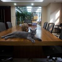 BEIJING, AUG. 6, 2012 : eine der 5 Katzen des  Multi -Millionaers Huang Nubo im Konferenzraum der    ZhongKun Gruppe  in Peking.
