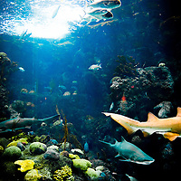 TAMPA, FL -- Shark swim through the coral reef at the Florida Aquarium in Tampa, Florida.  The aquarium boast numerous exhibits and ecosystems such as the Wetlands Trail, Bays and Beaches, Coral Reef, and Ocean Commotion.  (Photo / Chip Litherland)