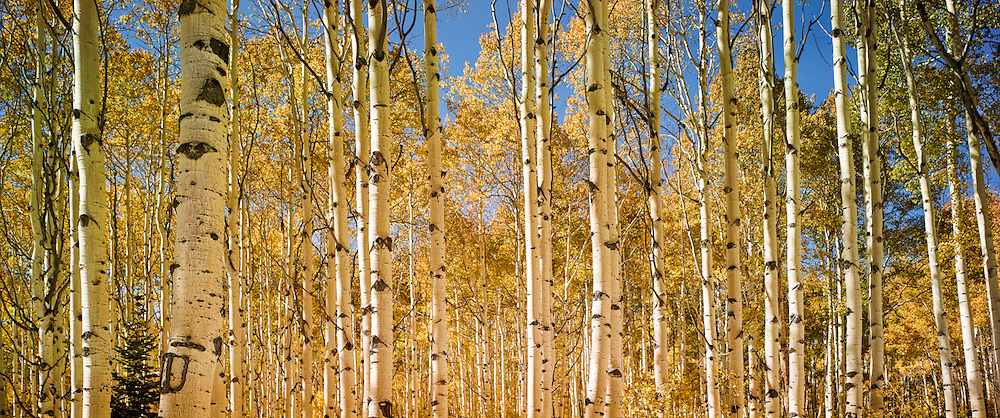 """Aspens in fall, Boulder Mountains, near Sun Valley Idaho. Also available as a triptych, up to 60 x 120""""."""