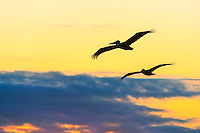 Two pelicans silhouetted, flying through a colorful sunrise sky on the Outer Banks of North Carolina.