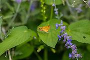 Fiery Skipper butterfly; Hylephila phyleus; Fiery branded skipper; at Marathon, Texas in summer.