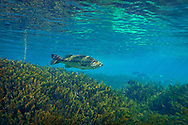 Hydrilla (with Largemouth Bass)<br /> <br /> Isaac Szabo/Engbretson Underwater Photography