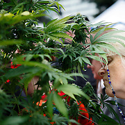 SHOT 4/20/11 4:17:51 PM - An older woman takes in the smell of a marijuana plant on display at the 420 Rally in Denver, Co. Marijuana enthusiasts converged upon Denver, Colorado and Civic Center Park for an event that has come to symbolize Colorado's burgeoning claim as the nation's cannabis capital. Denver's annual April 20th pro-marijuana smoke-out -- known as the 420 Rally -- is reputedly the largest of its kind in the world on a day that has come to be regarded as a ganja holiday. The crowd was estimated at about 10,000 participants and the signature moment of the rally occurred at 4:20 p.m., when participants collectively lit up and a thick cloud of marijuana smoke rose over the park within site of the state capital. Organizers say the goal of the rally is to bring people together to protest peacefully marijuana prohibition. (Photo by Marc Piscotty / © 2011)
