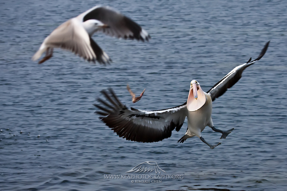 "An Australian Pelican prepares to catch a scrap of flying fish. ""A wonderful bird is the pelican, his bill will hold more than his belly can!"" ~Dixon Merritt."