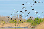 Black cormotants at the Aiguabarreig, a wonderful bird watching reserve on the confluence of the Segre, Cinca and Ebro Rivers.