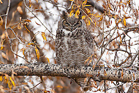Adult great horned owl
