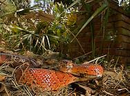 Corn Snake (Pantherophis guttata), Little St. Simon's Island, Georgia, 2013.