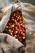 Harvested coffee cherries in a burlap sack, Kona Coast, The Big Island, Hawaii