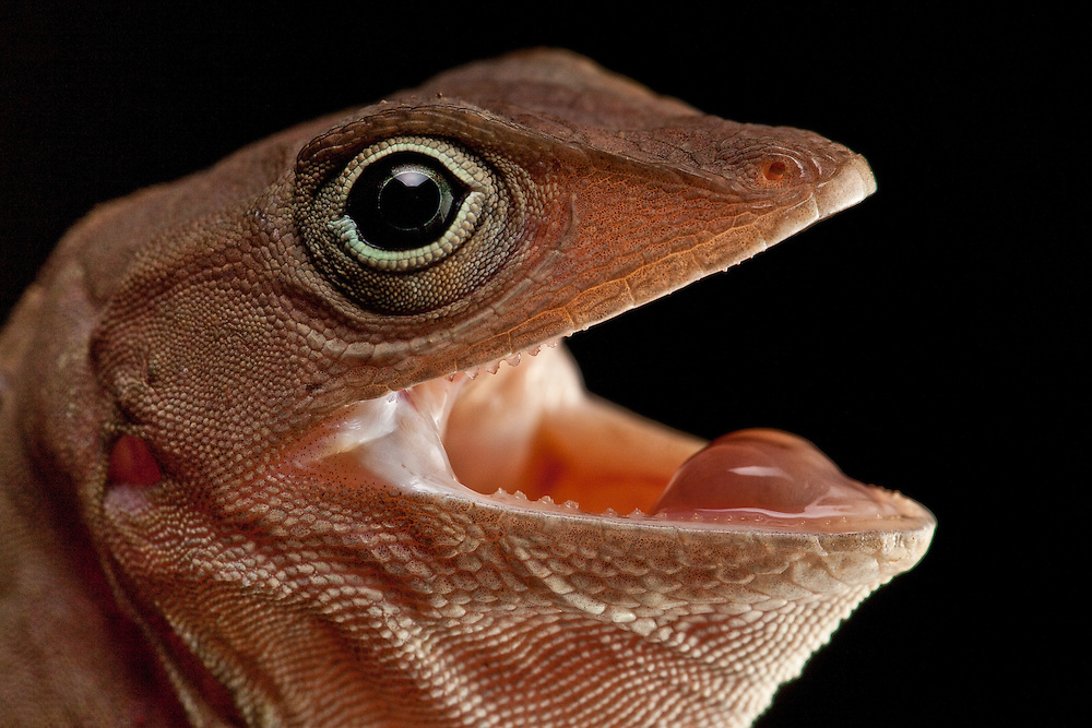 Anolis cybotes, the common ground-dwelling anole of.Hispaniola, in Macaya Biosphere Reserve, Massif de la Hotte, Haiti