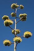 Harvard Agave, (Agave havardiana ), Big Bend National Park, Texas