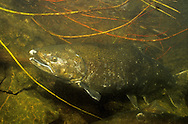 Chinook Salmon during fall spawning run in a Lake Michigan tributary stream <br /> <br /> ENGBRETSON UNDERWATER PHOTO