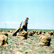 An immigrant worker hauls sacks of onions during the onion harvest in eastern Colorado.