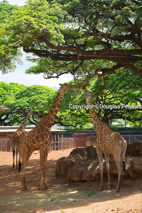 Giraffe, Honolulu Zoo, Waikiki, Oahu, Hawaii