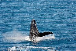 A humpback whale raises its fin as it breaches backwards on the Kimberley coast of Western Australia.