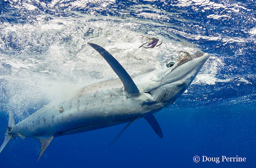 blue marlin, Makaira nigricans, is held by the bill after tagging & prior to release; the (poorly placed by a guest angler) spaghetti tag is visible on the marlin's flank, Vava'u, Kingdom of Tonga, South Pacific