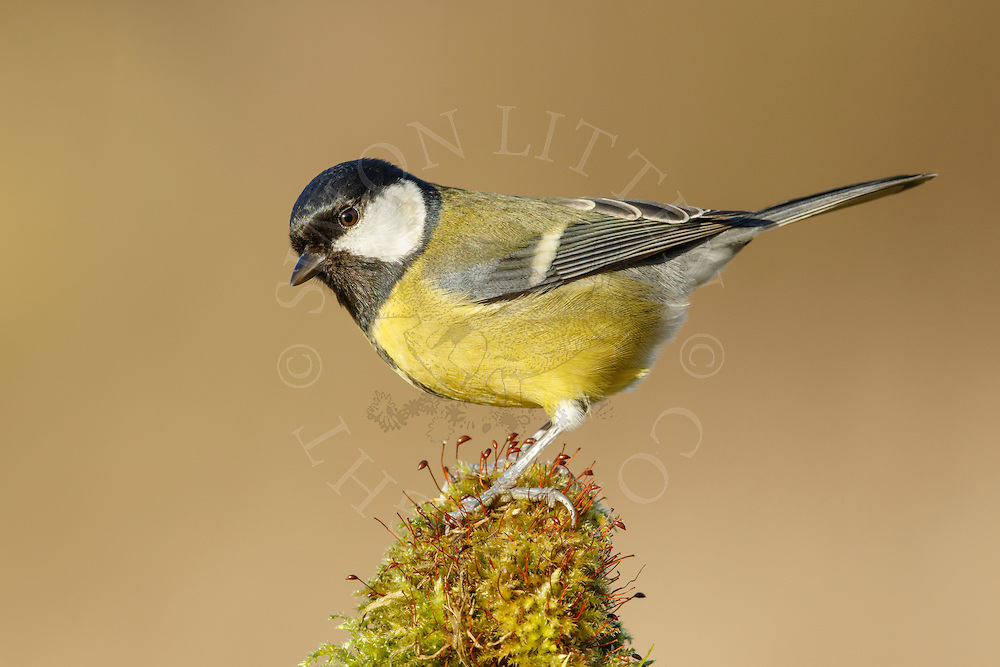 Great Tit (Parus major) adult, perched on mossy stone, South Norfolk, UK. January.