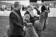 The Great Midwest Alpaca Festival was held.04 27 2013 at Veterans Memorial Coliseum at the Alliant Energy Center in Madison, Wisconsin.-Photo Steve Apps
