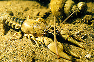 Northern Clearwater Crayfish<br />