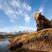 USA, Alaska, Katmai National Park, Young female Grizzly Bear (Ursus arctos) sitting on banks above salmon spawning stream along Kinak Bay