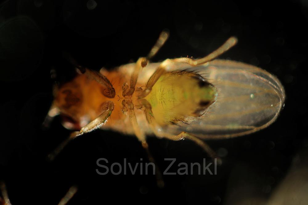 Bei Bedarf können die Wissenschaftler im Labor die Taufliegen (Drosophila melanogaster) farblich markieren, indem sie ihnen mit Lebensmittelfarben z.B. grün gefärbten Futterbrei geben. Durch das transparente Außenskelett hindurch kann man dann diese Farbe im hinteren Verdauungstrakt der Fliege erkennen.
