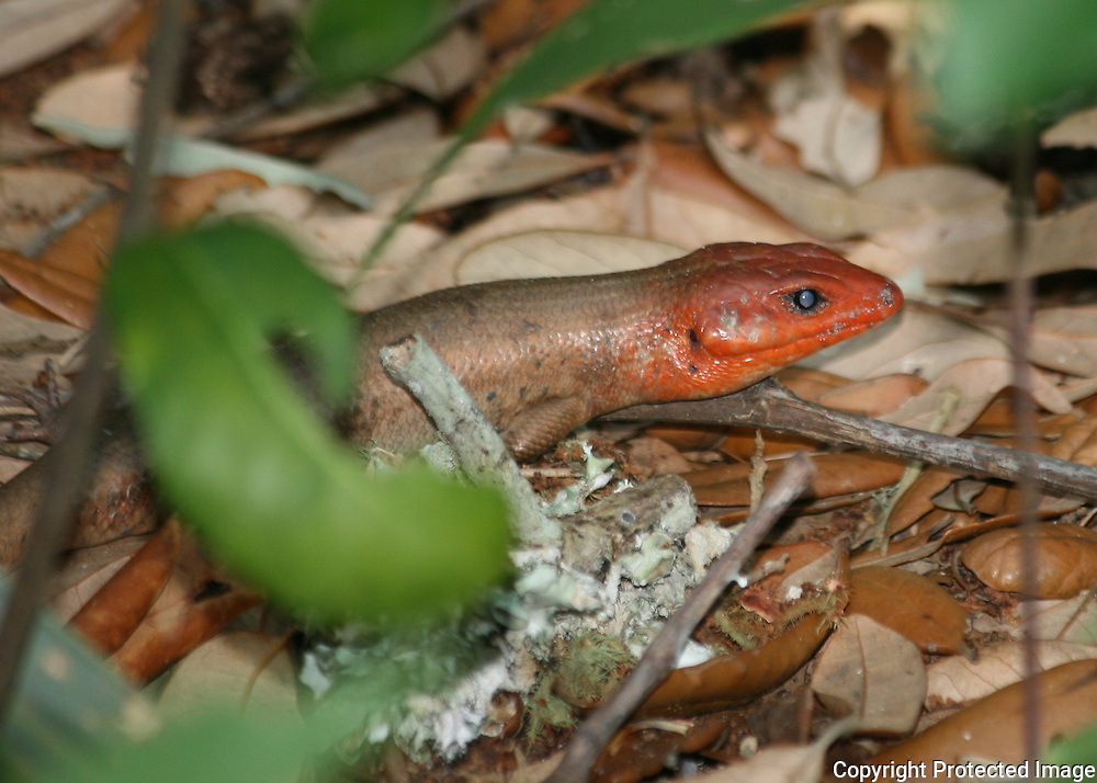 A Broad head Skink on the floor of a Jekyll Island tidal forest.