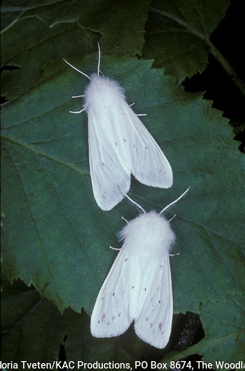 Agreeable Tiger Moth,.Spilosoma congrua,Pair