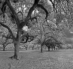 Two rows of Oak Trees Herman Memorial Park Houston, Texas