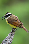 Great Kiskadee (Pitangus sulphuratus)<br /> TEXAS: Hidalgo Co.<br /> Las Colmenas Ranch<br /> 14-March-2006<br /> J.C. Abbott #2248