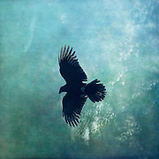 Silhouette of a flying raven<br />