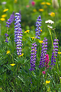 Broadleaf Lupines (Lupinus latifolius), Broadleaf Arnica (Arnica latifolia) and a few other species of wildflowers in Mount Rainier National Park in Washington State, USA.