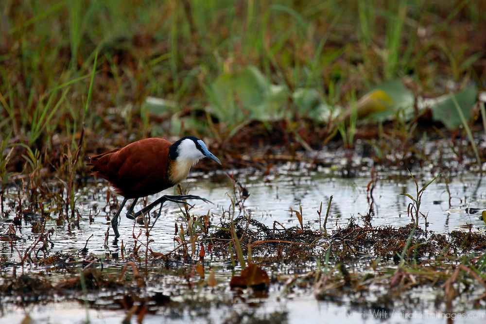 Africa, Botswana, Okavango Delta. African Jacana wading in reeds.
