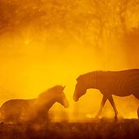 Africa, Botswana, Moremi Game Reserve, Plains Zebra (Equus burchelli) cooling off in dust lit by setting sun in Okavango Delta near Xakanaxa Camp