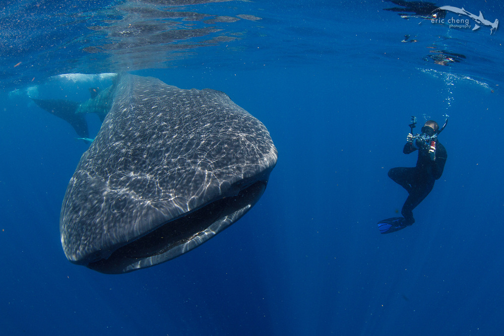 Dan Kitchens photographs a whale shark (Rhincodon typus) at a feeding aggregation off of Isla Mujeres, Mexico